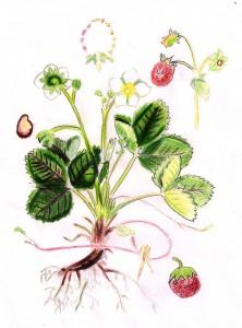 B11_Fragaria vesca